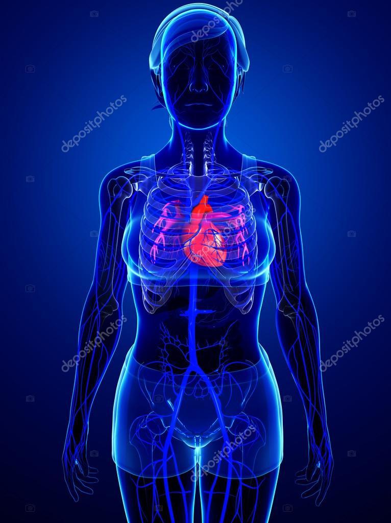 Anatomía del corazón humano — Foto de stock © pixdesign123 #81650736