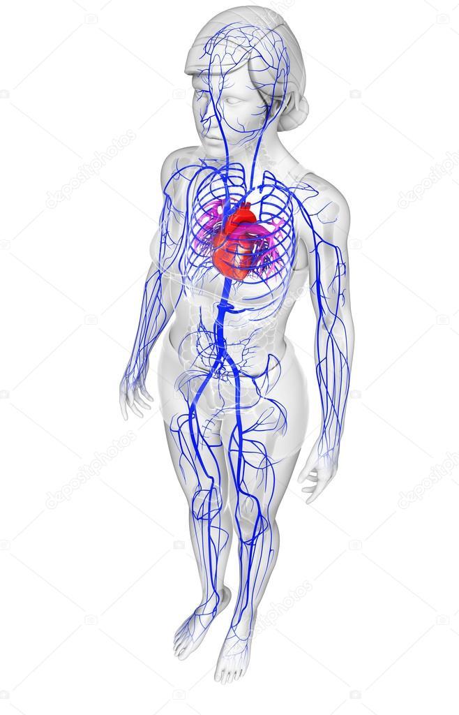 Menschliches Herz Anatomie — Stockfoto © pixdesign123 #81650930