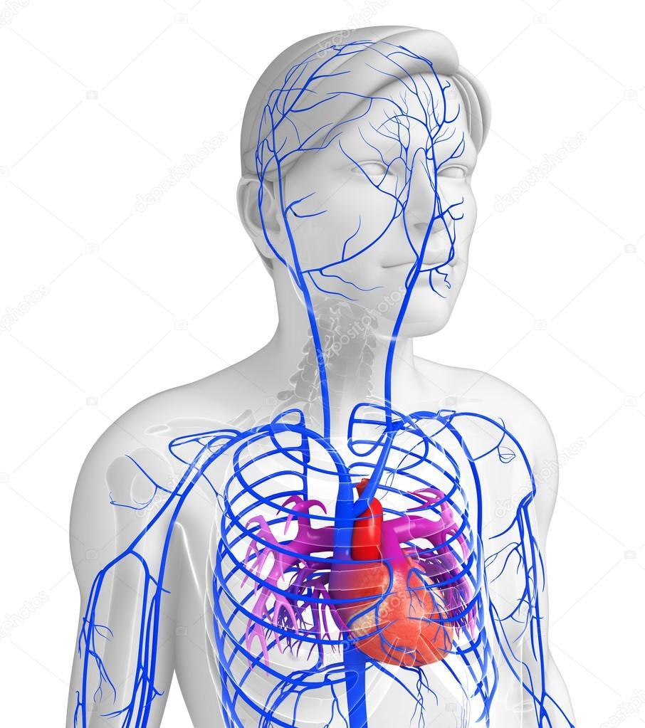 Menschliches Herz Anatomie — Stockfoto © pixdesign123 #81651320