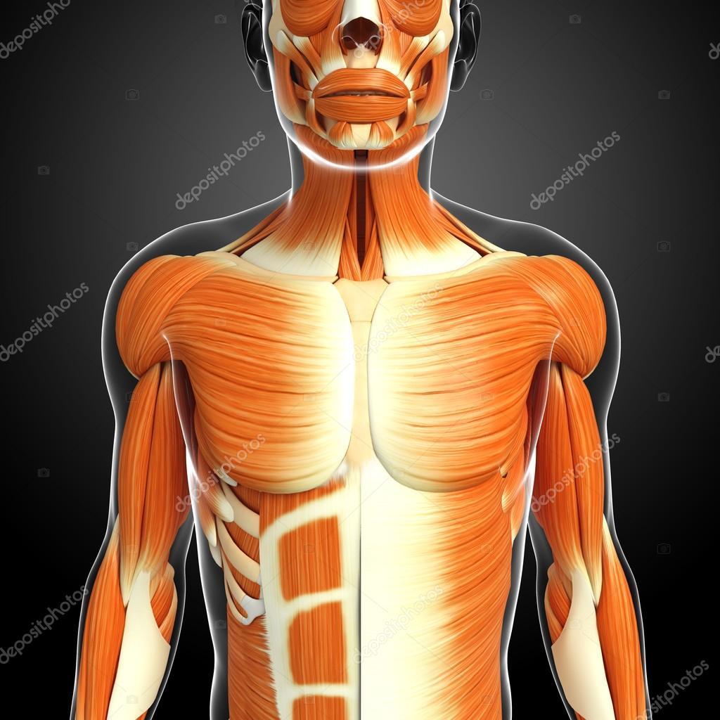 Anatomía de los músculos masculinos — Foto de stock © pixdesign123 ...
