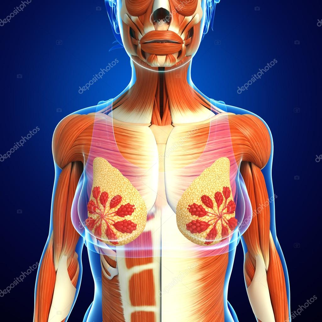 weibliche Muskeln Anatomie — Stockfoto © pixdesign123 #81653498