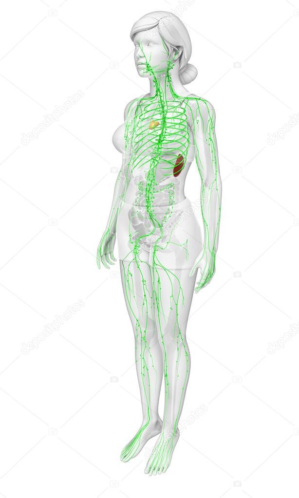 Lymphatische System des menschlichen Körpers — Stockfoto ...