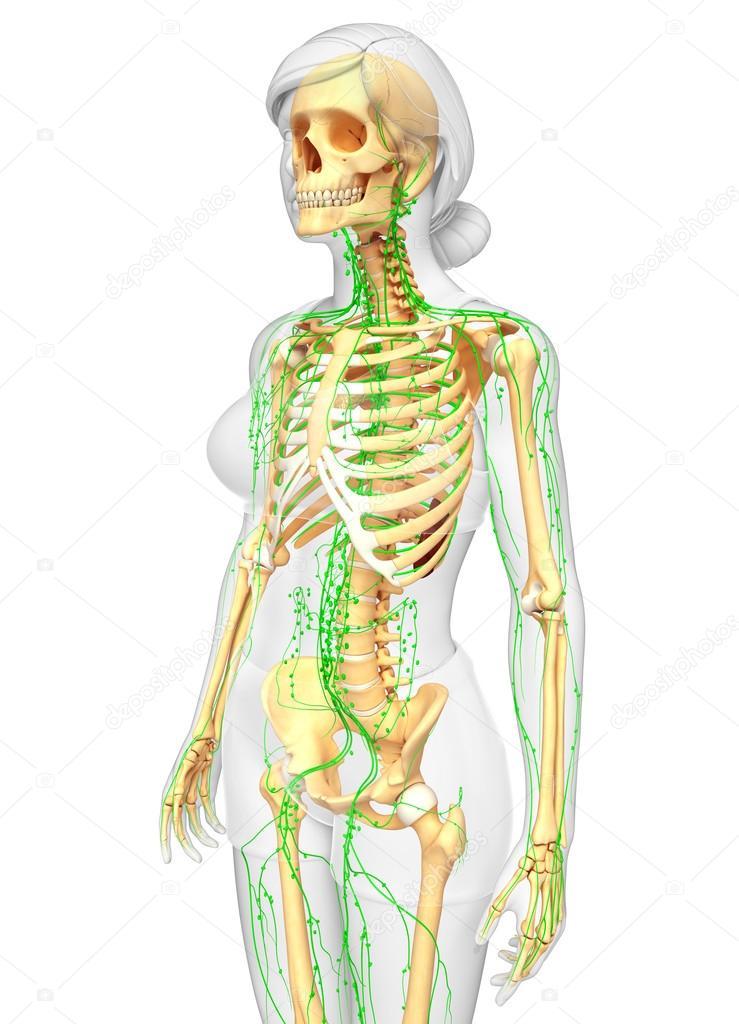 Sistema linfático de la ilustración esqueleto femenino — Foto de ...