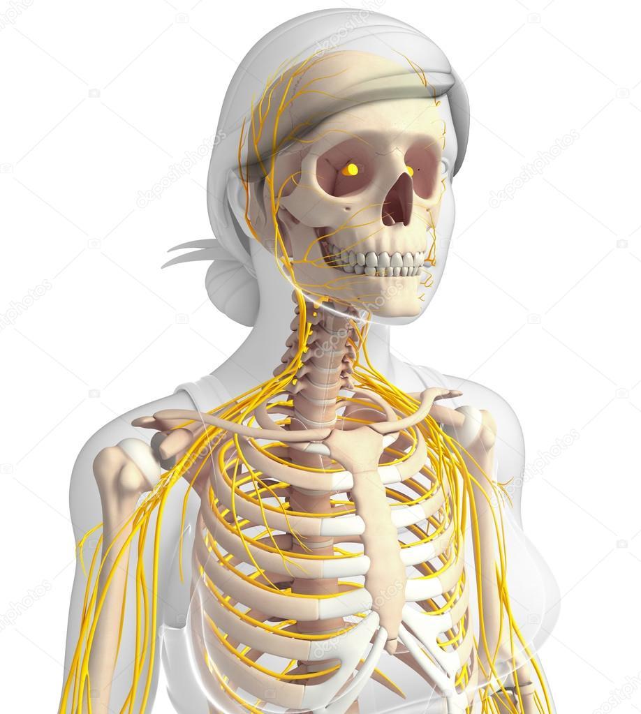 Mujer arte caja torácica y el sistema nervioso — Foto de stock ...