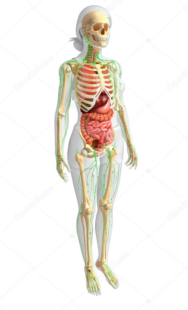 Linfático, esqueleto y sistema digestivo de la ilustración del ...