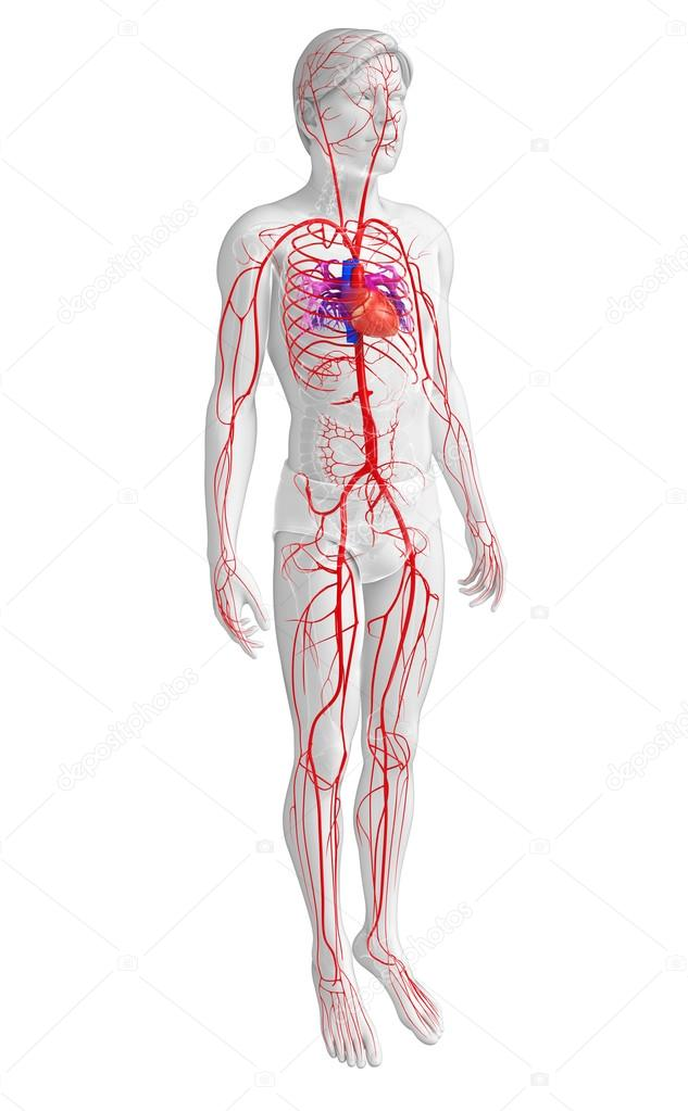 Male arterial system — Stock Photo © pixdesign123 #81657210