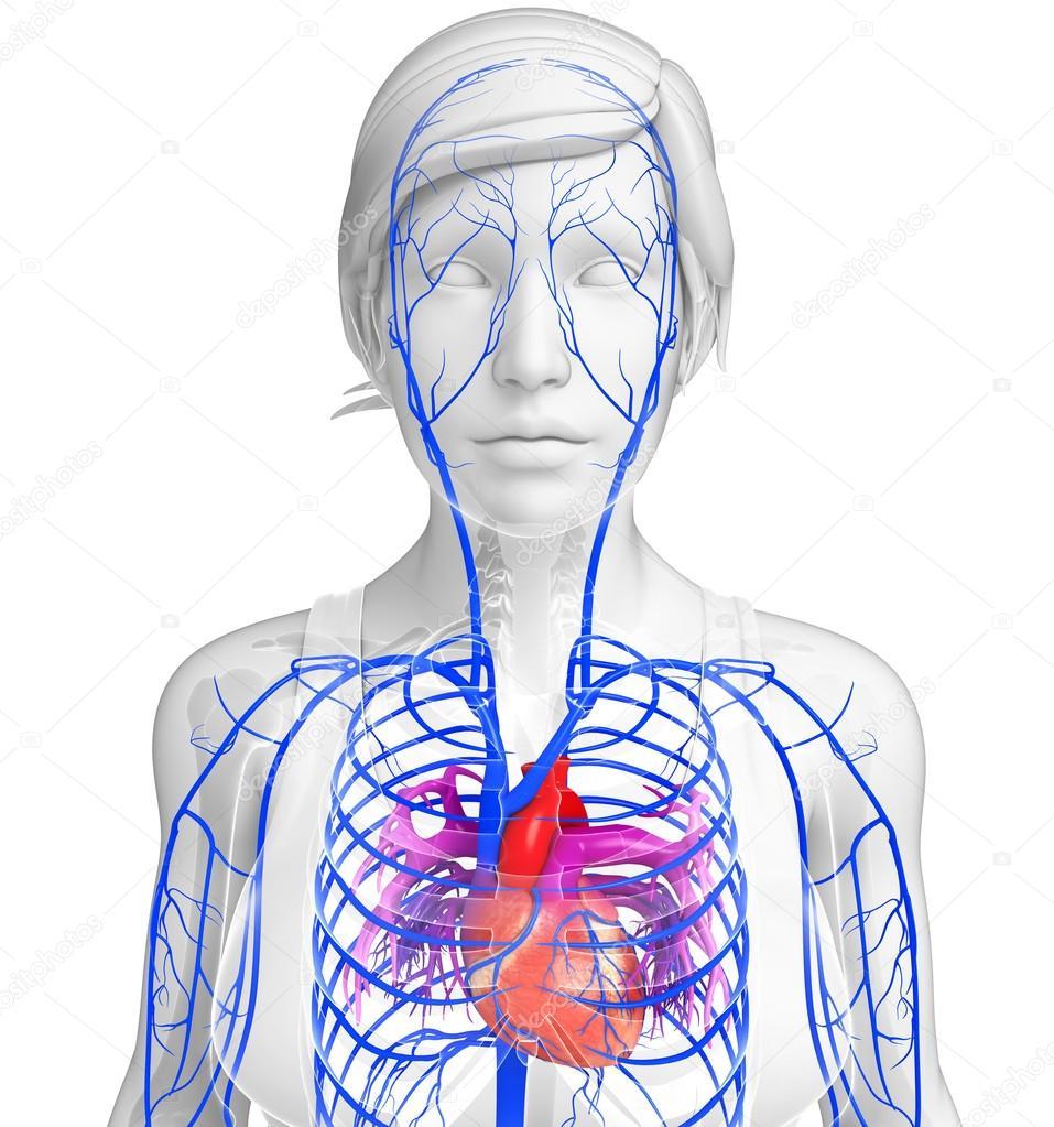 Menschliches Herz Anatomie — Stockfoto © pixdesign123 #81657364