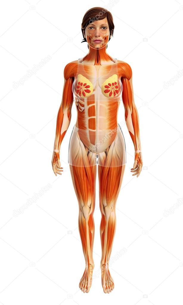 Anatomía de los músculos de la mujer — Fotos de Stock © pixdesign123 ...