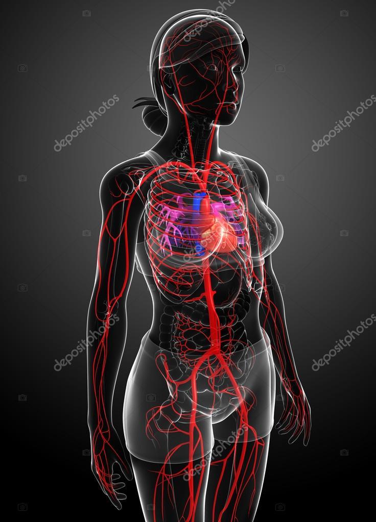 Weibliche arteriellen system — Stockfoto © pixdesign123 #81658994