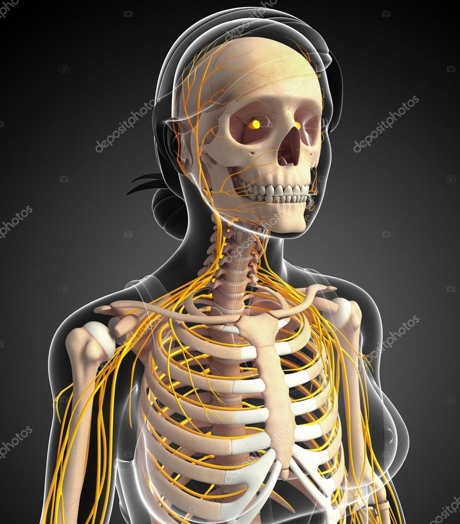 Female Ribcage And Nervous System Artwork Stock Photo