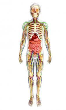 Lymphatic, skeletal, nervous and circulatory system of male anat