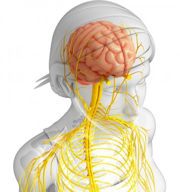 Female nervous system artwork