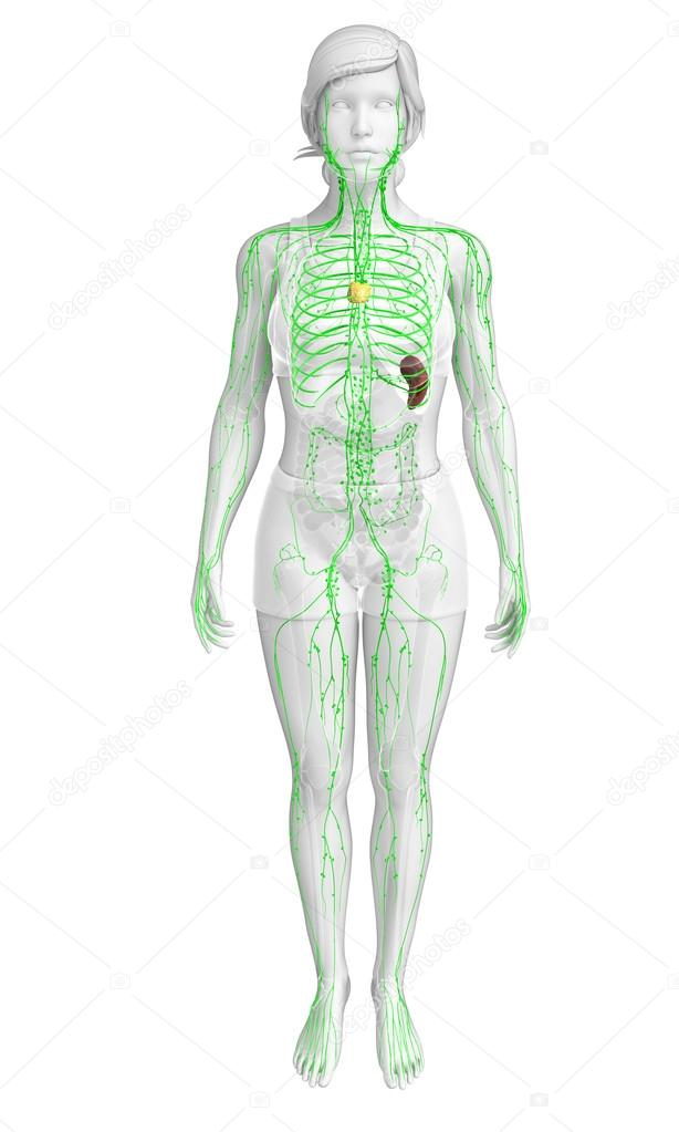 Lymphatic System Of Female Body Stock Photo Pixdesign123 81660448