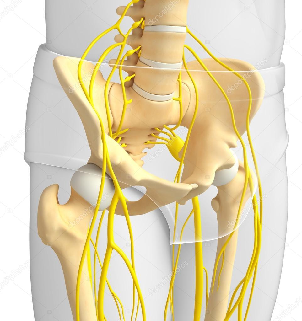 Sistema nervioso de la ilustración esqueleto pélvico — Foto de stock ...