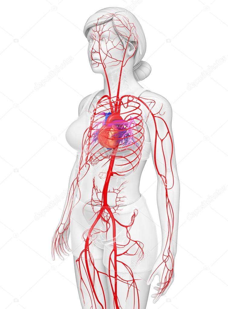Weibliche arteriellen system — Stockfoto © pixdesign123 #81660898