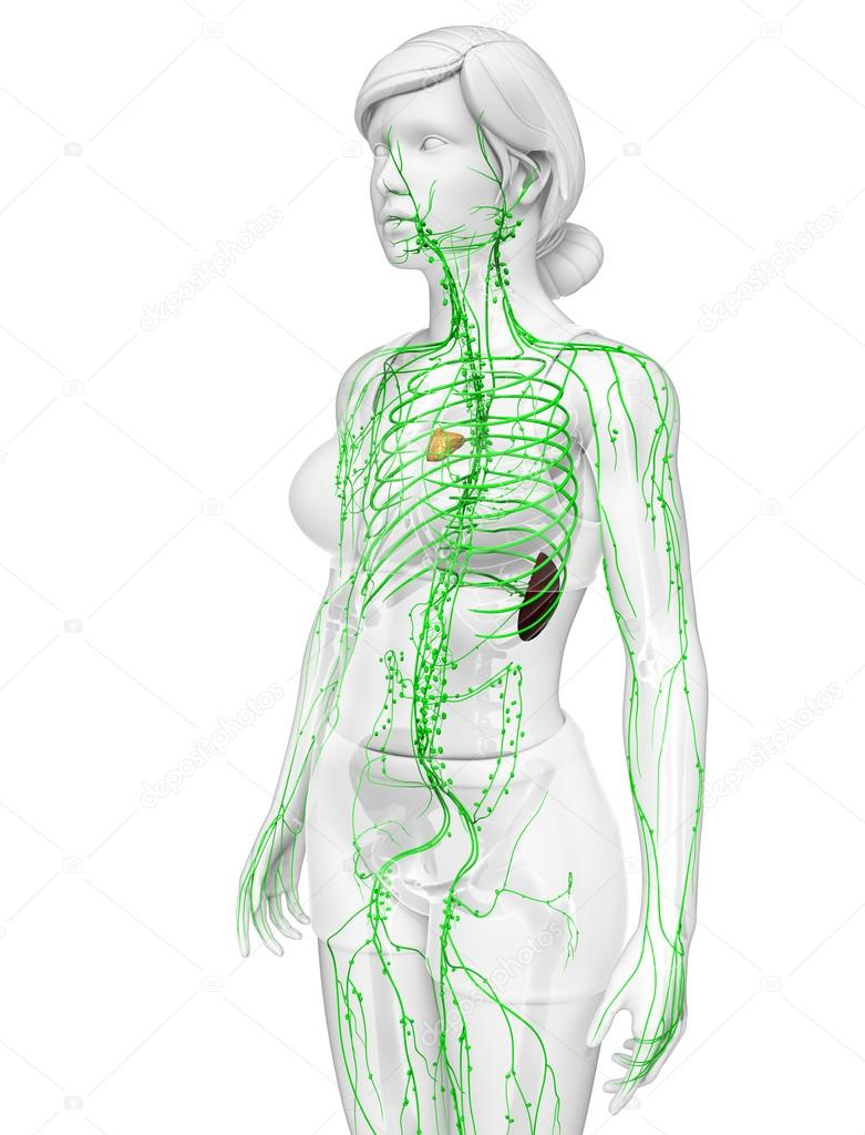 Lymphatic system of female body — Stock Photo © pixdesign123 #81660918