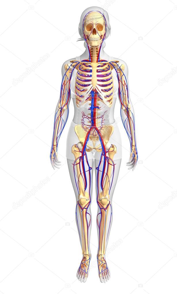 sistema circulatorio esqueleto femenino — Fotos de Stock ...