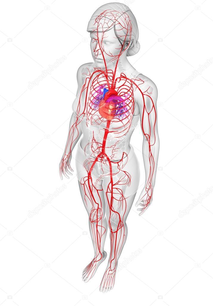 Weibliche arteriellen system — Stockfoto © pixdesign123 #81663102