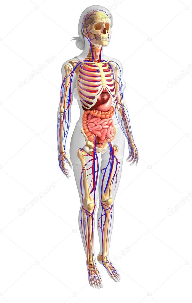 Weibliche Skelett, Verdauung und Kreislauf-system — Stockfoto ...