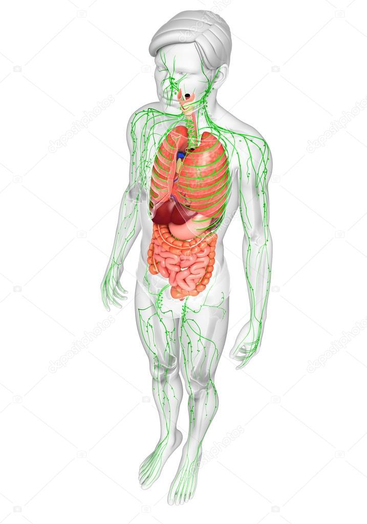 Lymph- und Verdauungssystem von männlichen Körper artwork ...