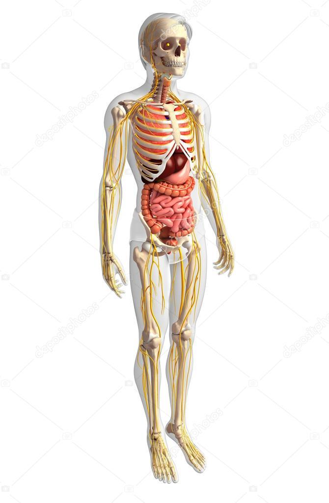 Männliche Skelett mit Nerven- und Verdauungssystem artwork ...
