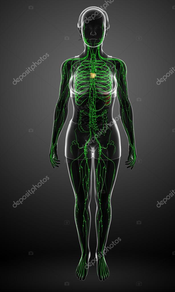 Lymphatic System Of Female Body Stock Photo Pixdesign123 81670238