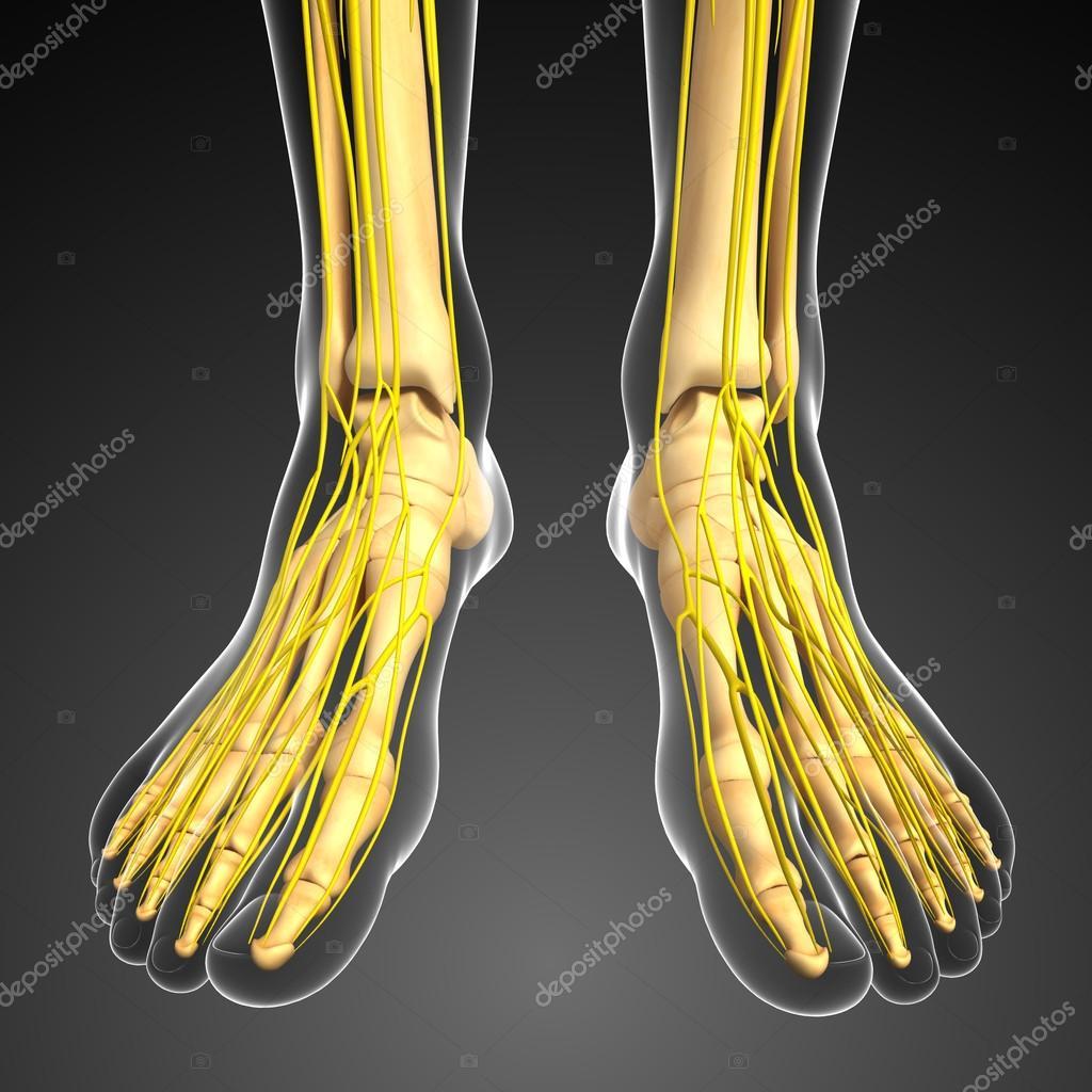 Sistema nervioso y los pies arte de esqueleto — Fotos de Stock ...