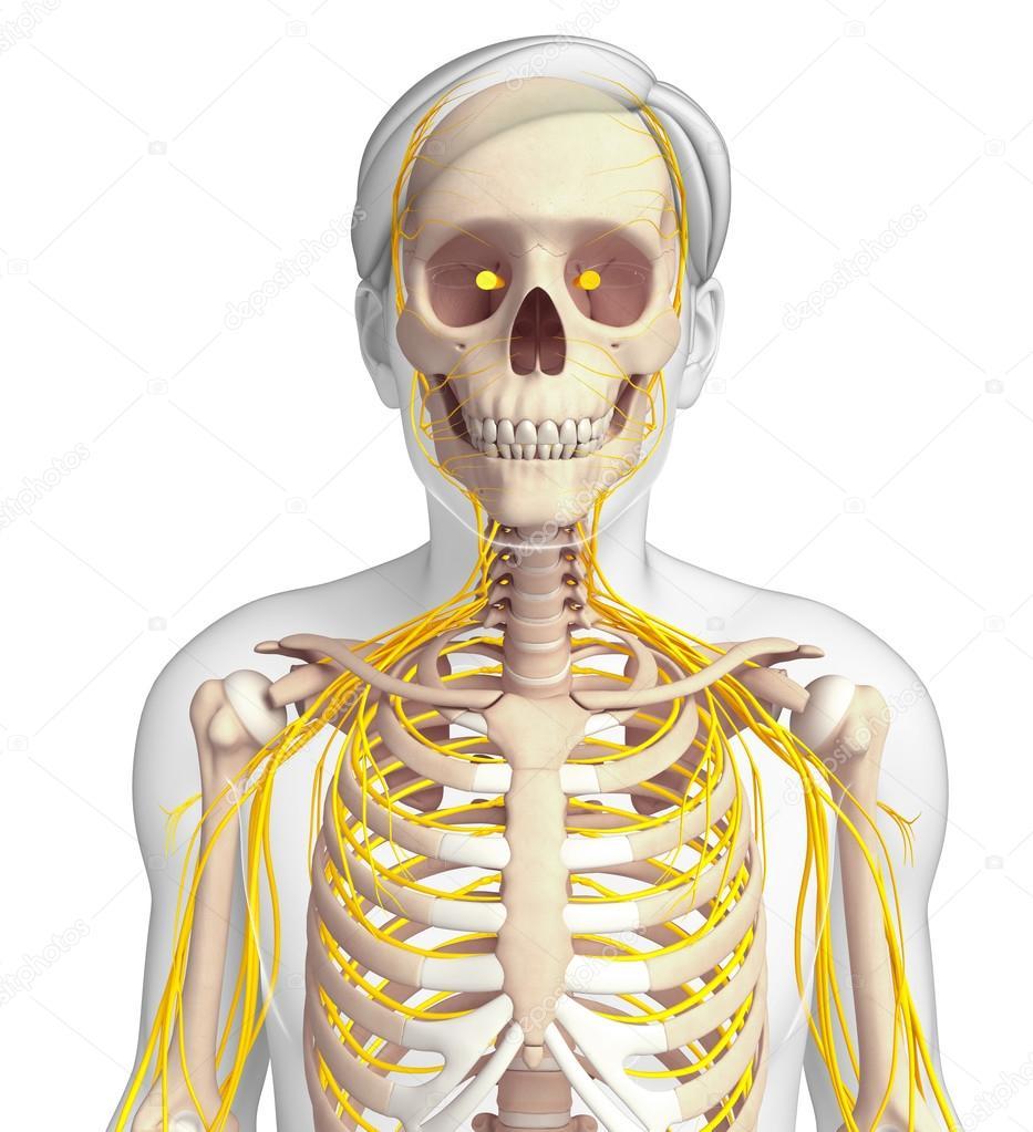 Hombre arte caja torácica y el sistema nervioso — Fotos de Stock ...