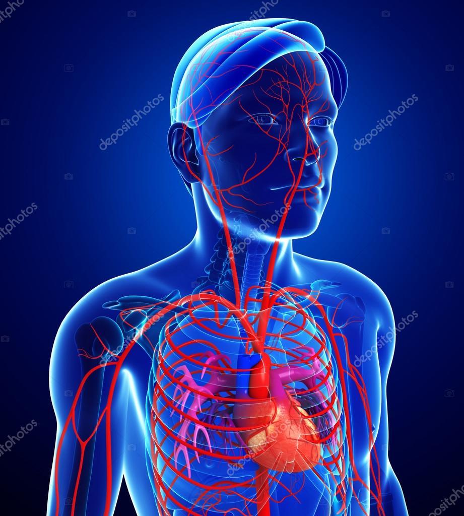 Männlichen arteriellen system — Stockfoto © pixdesign123 #81674024