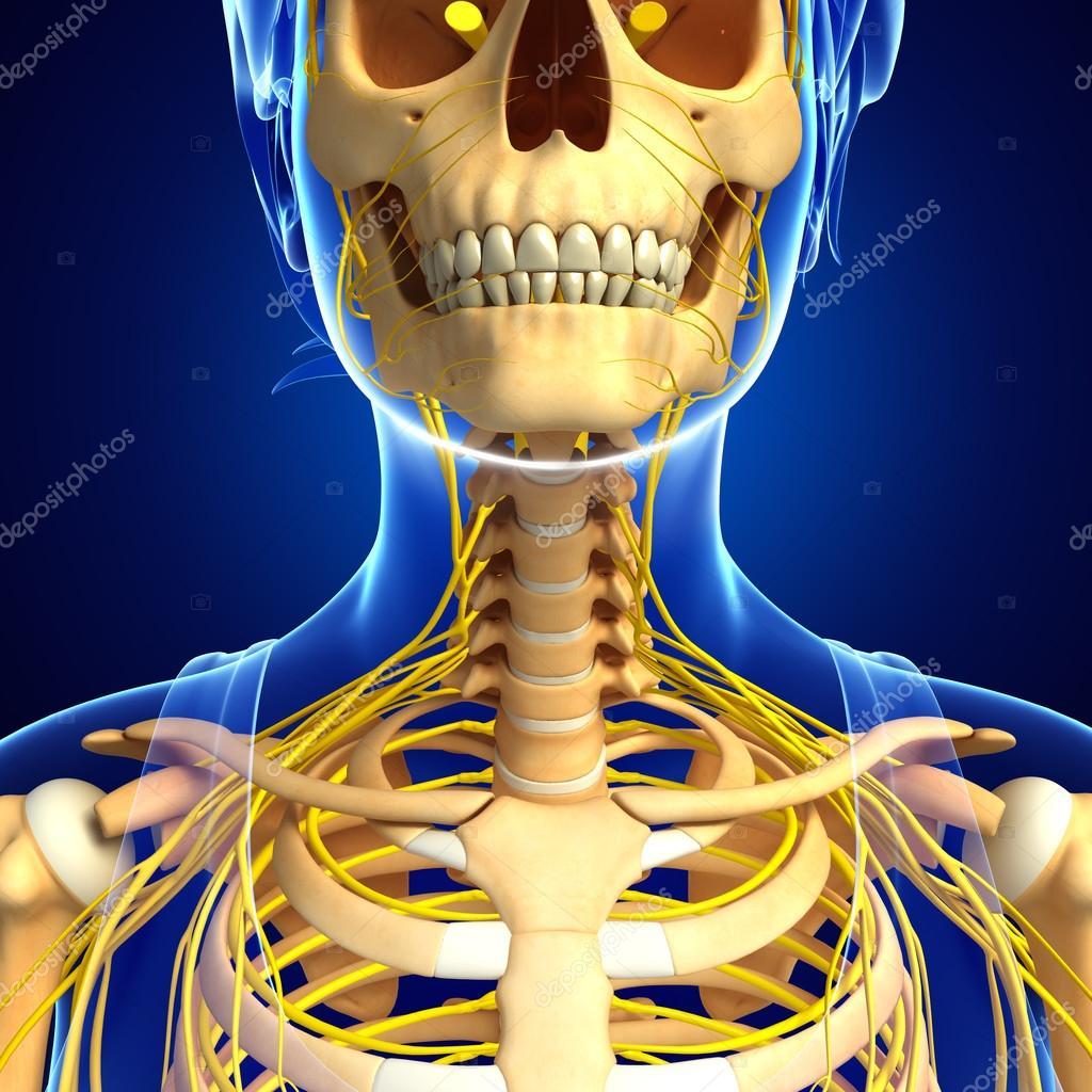 Nervensystem des menschlichen Skelett Kunstwerk — Stockfoto ...