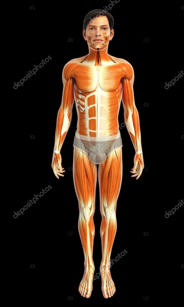 Anatomía de los músculos masculinos — Fotos de Stock © pixdesign123 ...