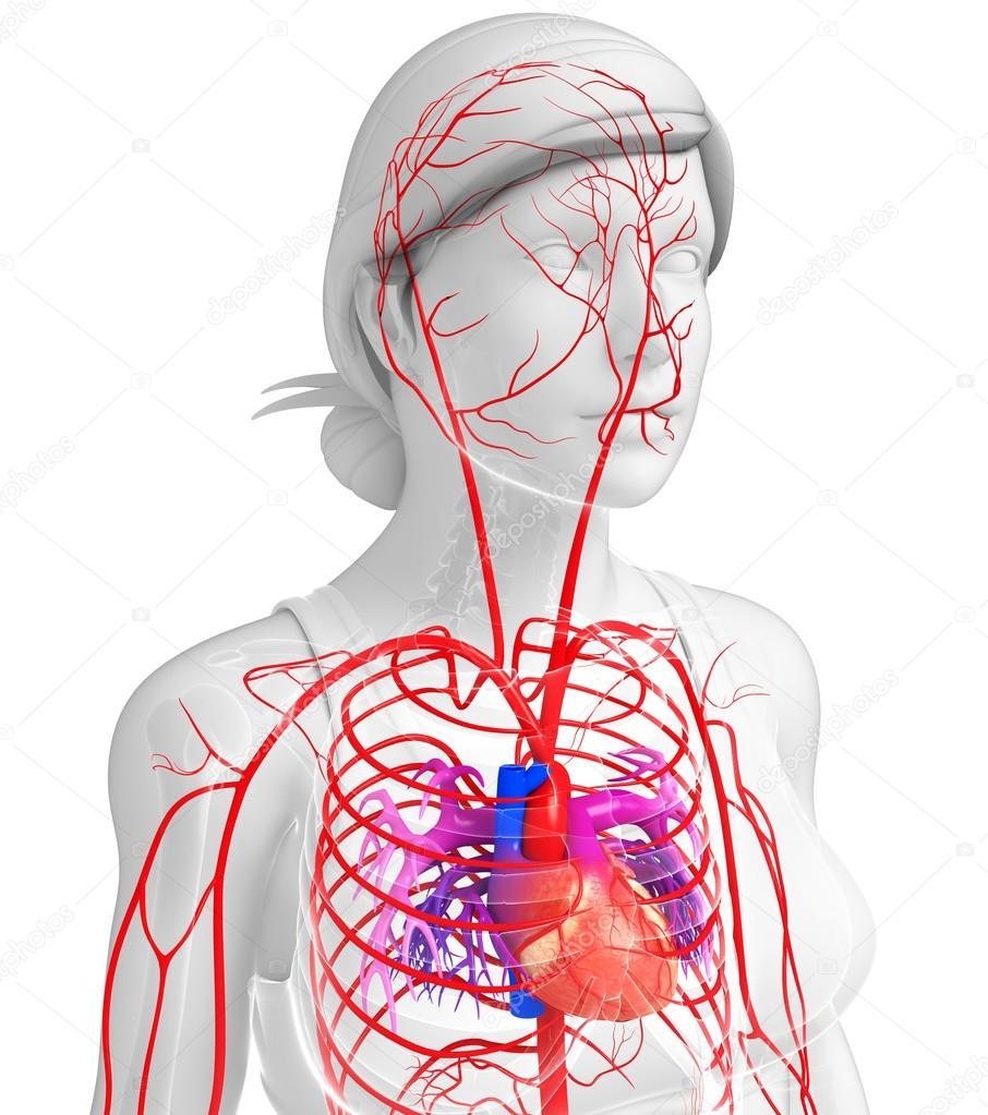 Weibliche arteriellen system — Stockfoto © pixdesign123 #81683596