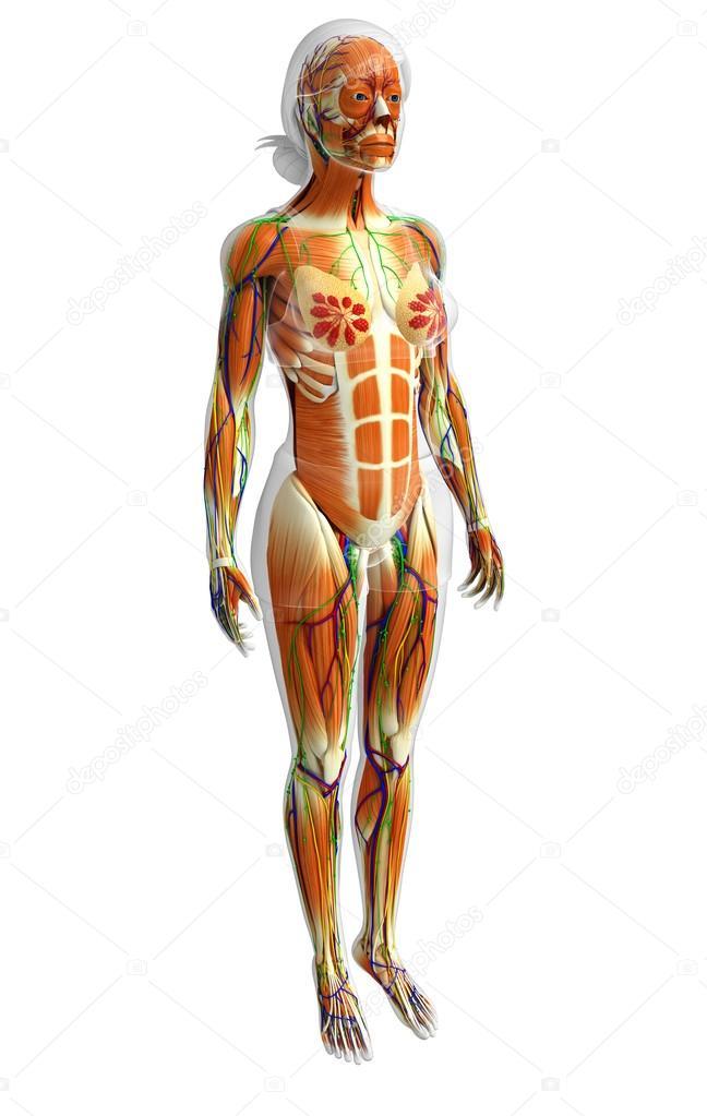 Ausgezeichnet Anatomie Menschliche Muskeln Zeitgenössisch - Anatomie ...