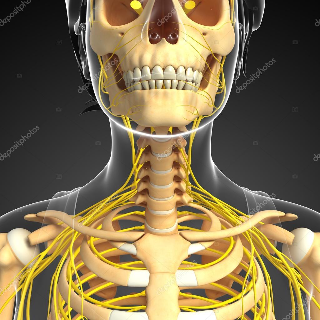 Sistema nervioso y mujer arte de esqueleto de cuello — Fotos de ...