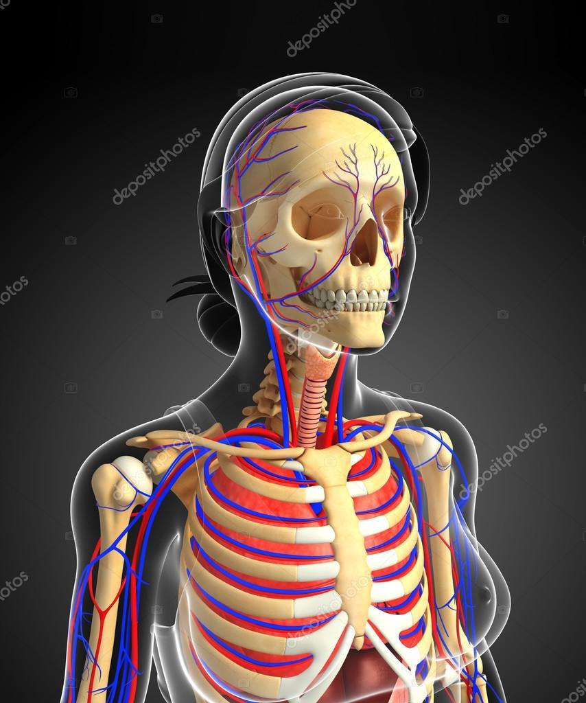 Weibliche Skelett und Herz-Kreislauf-system — Stockfoto ...