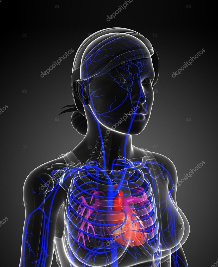 Menschliches Herz Anatomie — Stockfoto © pixdesign123 #81686834