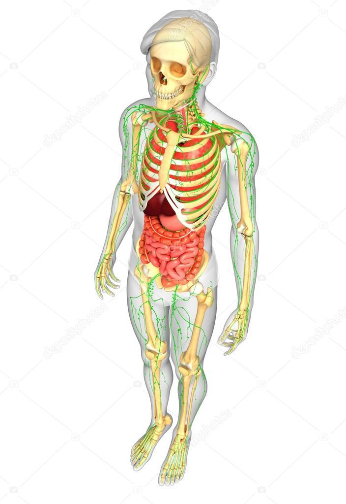 Lymph-, Skelett- und Verdauungssystem von männlichen Körper artwork ...