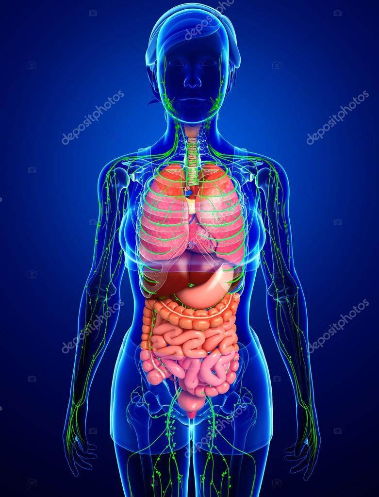 Lymph- und Verdauungssystem des weiblichen Körpers Kunstwerk ...