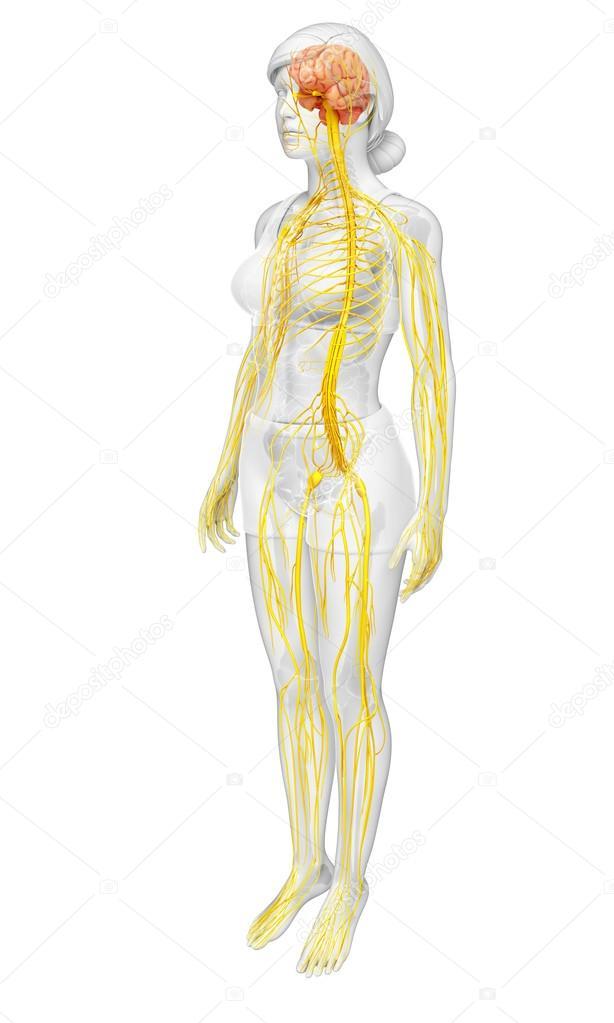 Weibliche Nervensystem Kunstwerk — Stockfoto © pixdesign123 #81689682