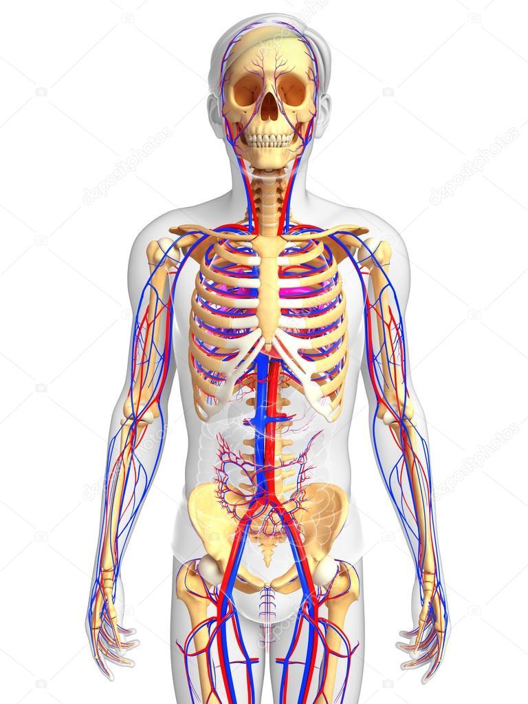 sistema circulatorio esqueleto masculino — Foto de stock ...