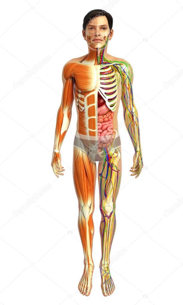 Anatomía de los músculos humanos — Foto de stock © pixdesign123 ...