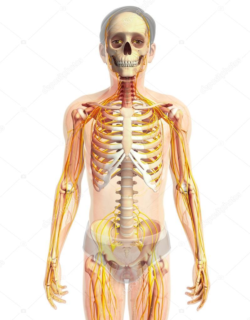 Kunstwerk des menschlichen Nervensystems — Stockfoto © pixdesign123 ...