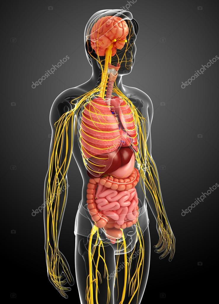 Männlichen Körper über Nervensystem und Verdauungssystem artwork ...