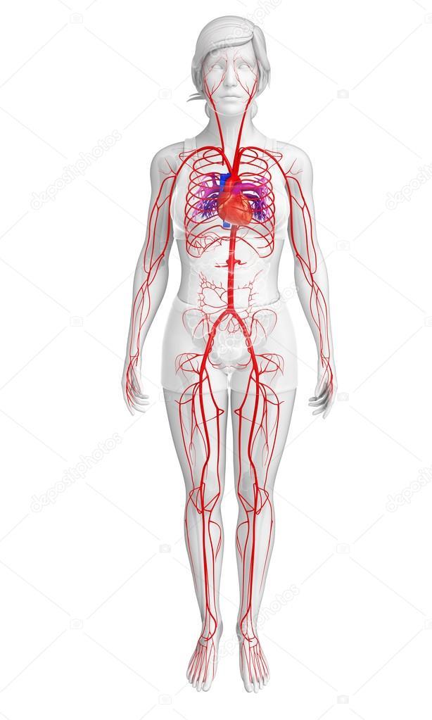 Sistema arterial femenino — Fotos de Stock © pixdesign123 #81691352