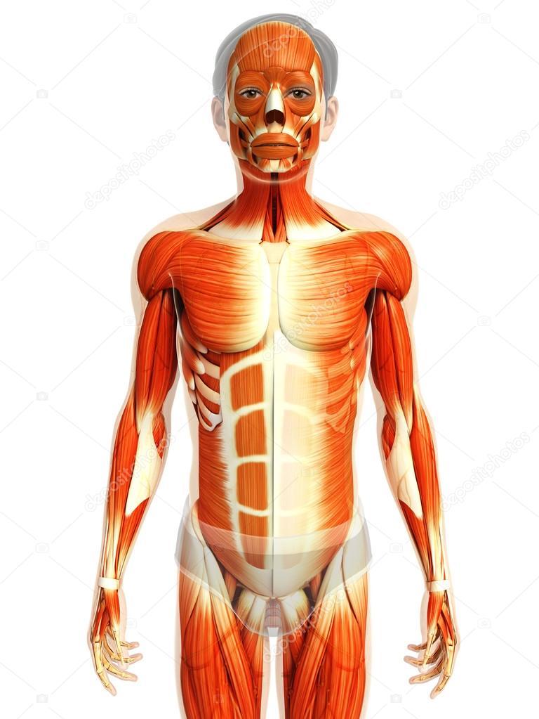 Anatomía de los músculos humanos — Fotos de Stock © pixdesign123 ...