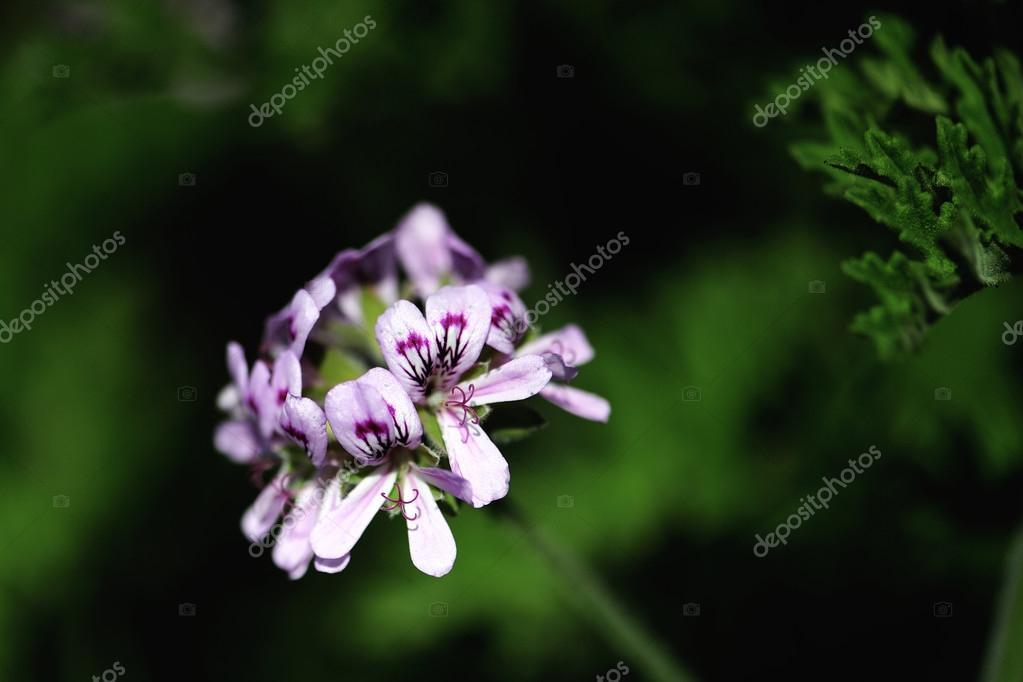 Citronella Geranium flowers.