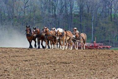 Horses Working on Amish Farm