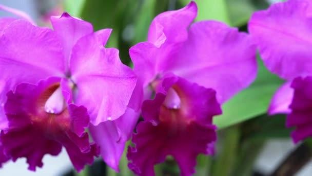 Cattleya Labiata virágok virágoznak a tavaszi napsütésben, egy ritka erdei orchidea díszített trópusi kertekben