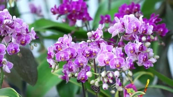 Phalaenopsis orchideák virágok virágoznak tavasszal díszítik a természet szépségét, egy ritka vad orchidea díszített trópusi kertekben