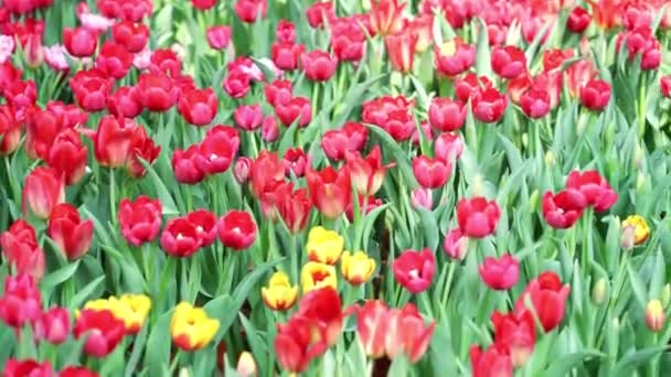 Tulipány kvetou na jarním slunci s oslnivými barvami plnými vitality v zahradě